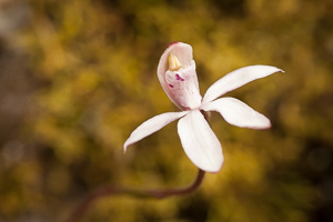 Tasmania's Native Orchids