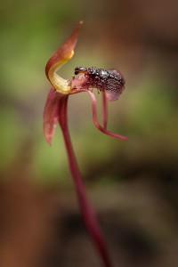 Autumn Bird Orchid