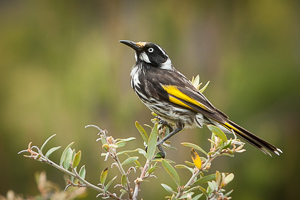 New_Holland_Honey_Eater