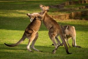 Boxing-Kangaroos