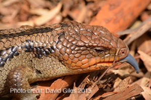 David-Giles-Blue-Tongue-Lizard
