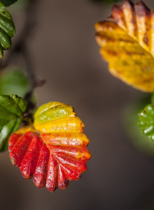 green, orange, gold and red tree foliage - known as the 'turning of the fagus' in Tasmania