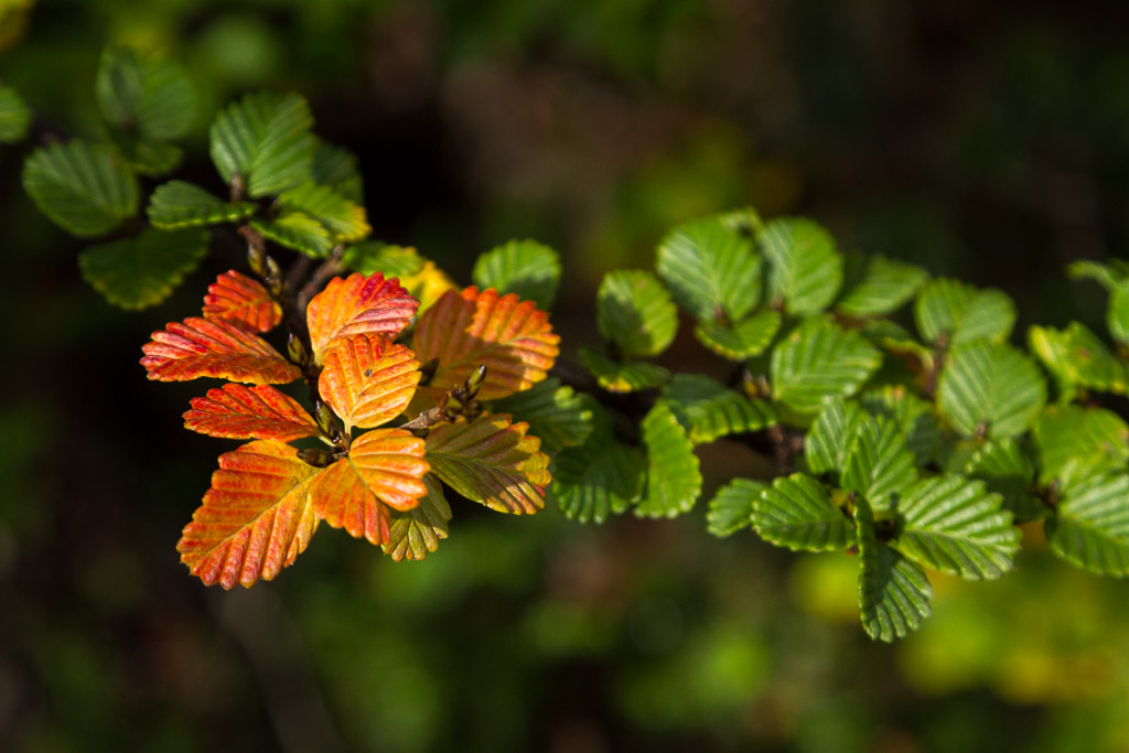 Fagus season in Tasmania