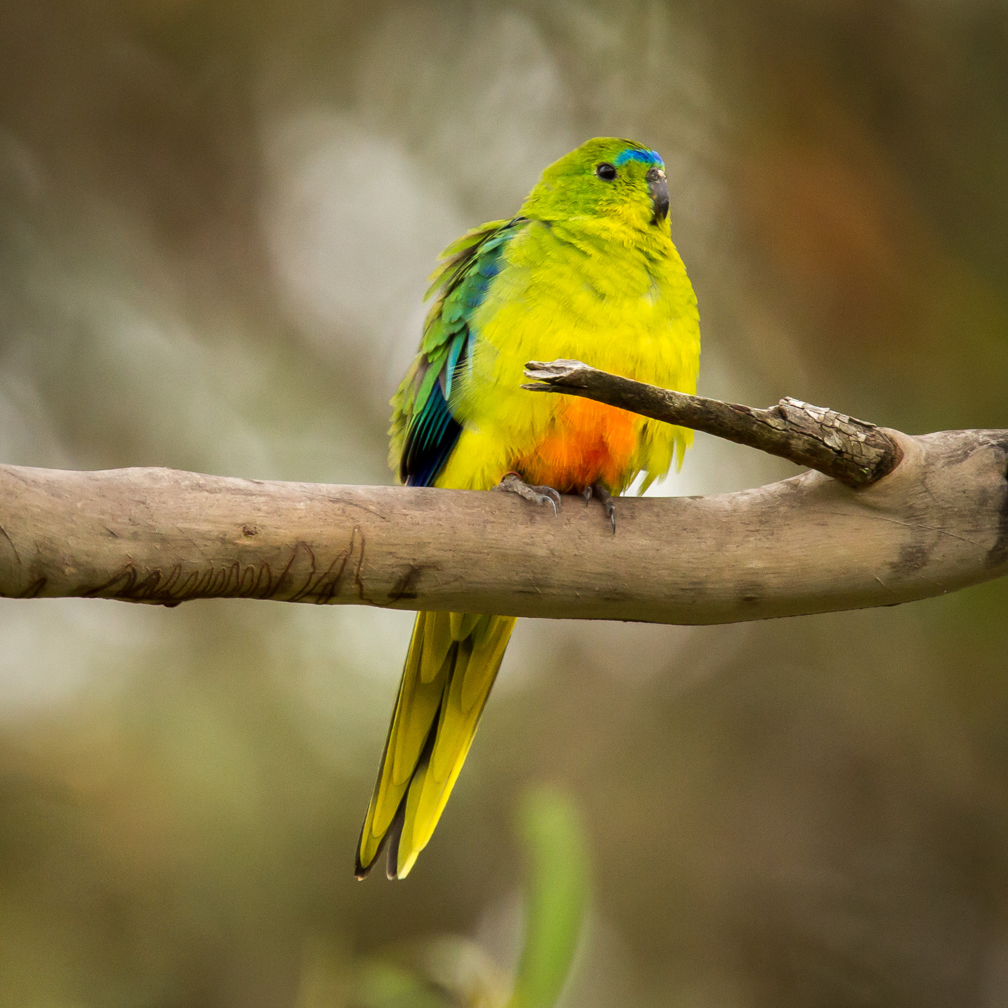 Orange-bellied Parrot (OBP) - listed as critically endangered; the threat of extinction is imminent
