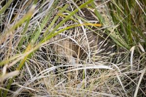 Shutterbug Walkabouts Echidna camouflaged in the bushy vegetation