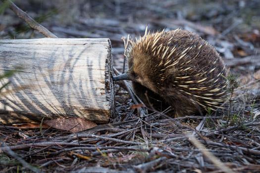 Shutterbug Walkabouts Echidna checking out a log