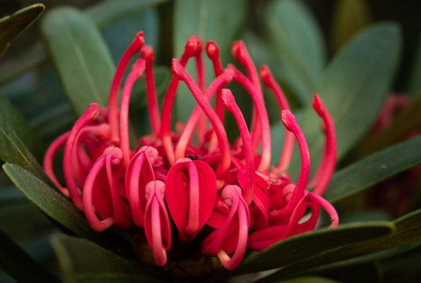 Photographing the Tasmanian Waratah with Shutterbug Walkabouts