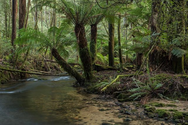 Mt Field stream and ferns