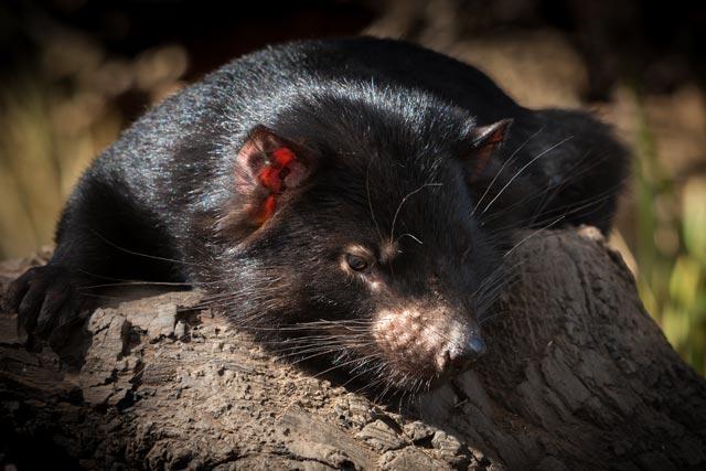 Bonorong - Tasmanian Devil