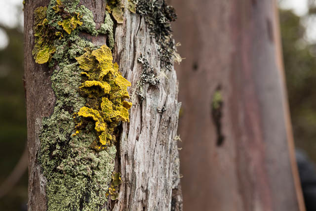 Lichen, Mt Field National Park