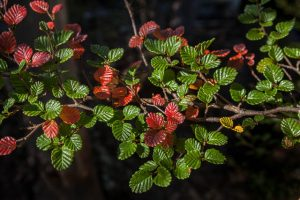 Native Tasmanian Fagus with its colours turning in Autumn