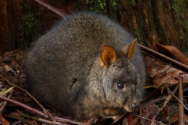Mt Field - Tasmanian Pademelon