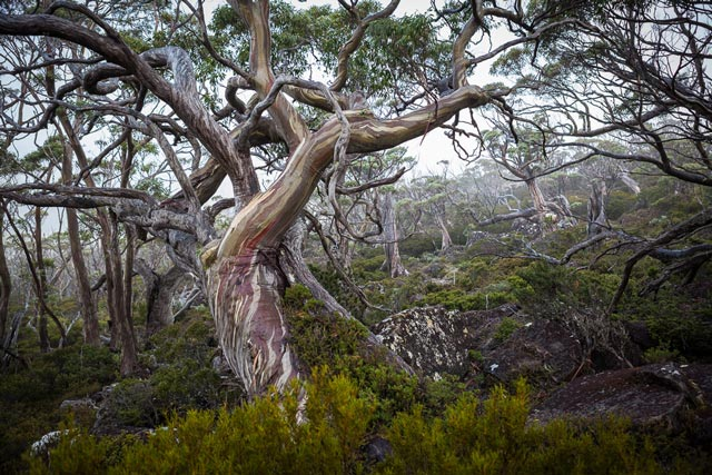 Mt Field - Snow Gums