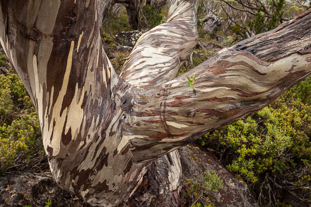 Twisted snow gum tree trunk, Tarn Shelf walk, Mt Field National Park