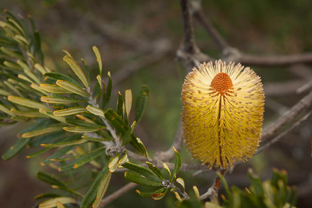 Banksia flower in bloom, Wineglass Bay, Freycinet National Park