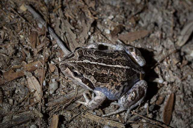 Eastern Banjo Frog, Wineglass Bay, Freycinet National Park, Tasmania