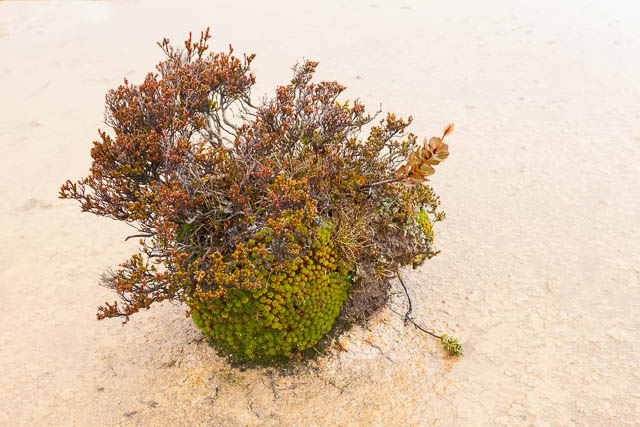 Cushion Plant, Hartz Mountains National Park, Tasmania - on tour with Shutterbug Walkabouts