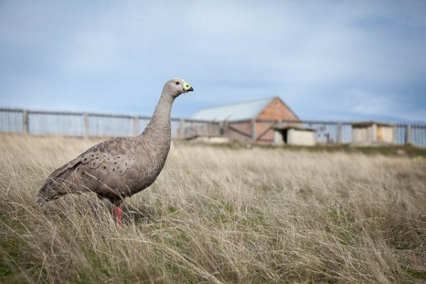 Cape Barren Goose on Maria Island - on tour with Shutterbug Walkabouts