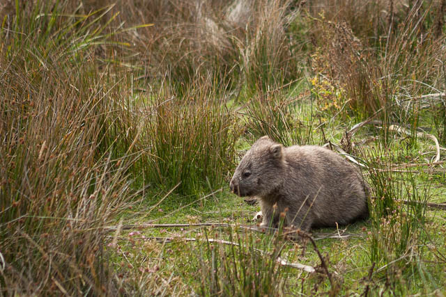 One of the many resident wombats on Maria Island, Tasmania - on tour with Shutterbug Walkabouts