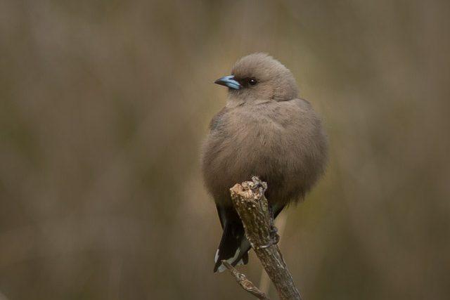 Birds of Bruny Island - Dusky Woodswallow