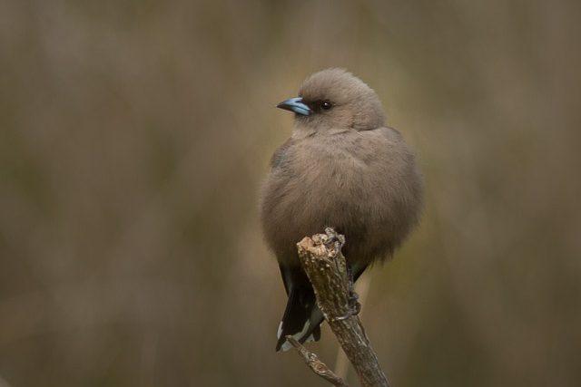 Birds of Bruny Island - Dusky Woodswallow