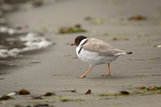 Shorebirds of Bruny Island - Hooded plover on Adventure Bay beach