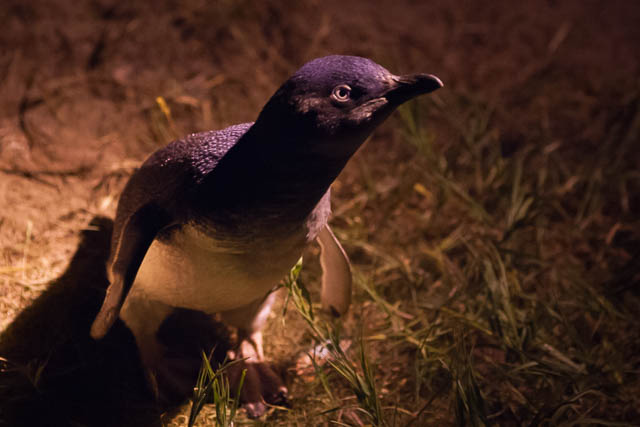 nature-bruny-island-little-penguin