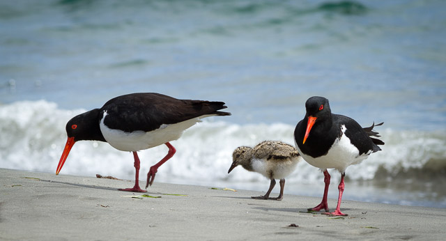 nature-bruny-island-pied-oyster-catcher-with-chick