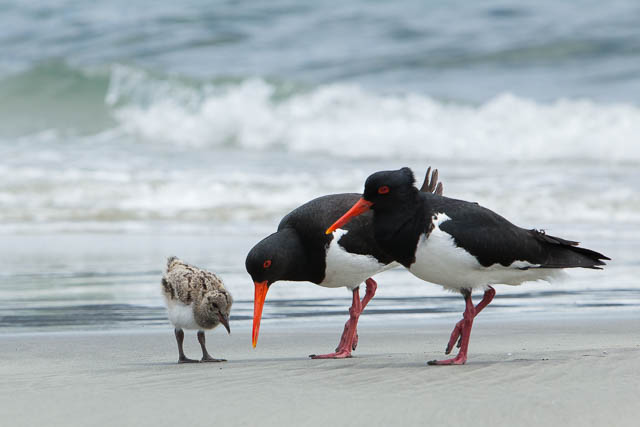nature-bruny-island-pied-oystercatchers