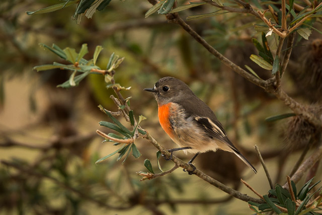 nature-bruny-island-scarlet-robin-female