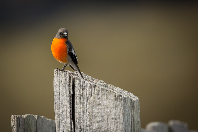 nature-bruny-island-scarlet-robin-male