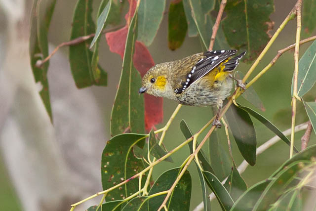 Forty-spotted pardalote, Bruny Island Tasmania