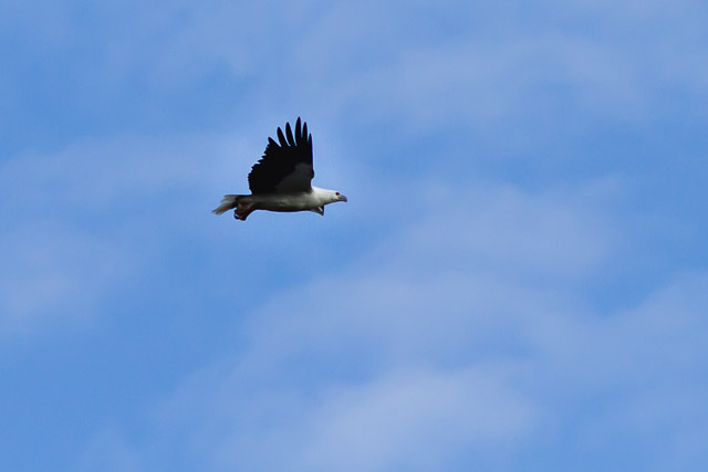 White-bellied sea-eagle soars above Cape Bruny - Shutterbug Walkabouts 'Highlights of Bruny Island' full day tour from Hobart