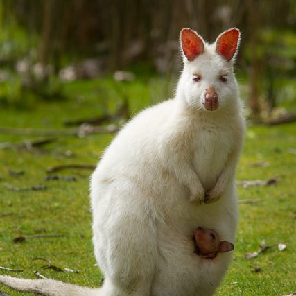 A Bruny Island white wallaby with joey in pouch