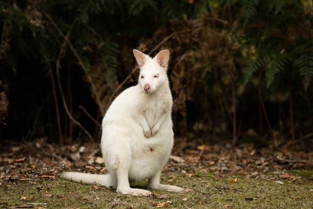 Endemic white wallaby | Bruny Island | Tasmania