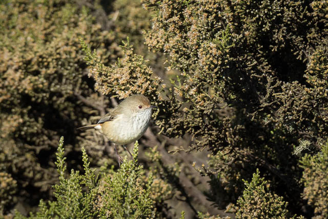brown-thornbill-birdwatching-photography-thousand-lakes-lodge-central-highlands-tasmania