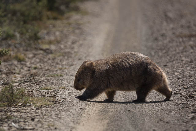 Wombat in its natural habitat in Central Highlands Tasmania