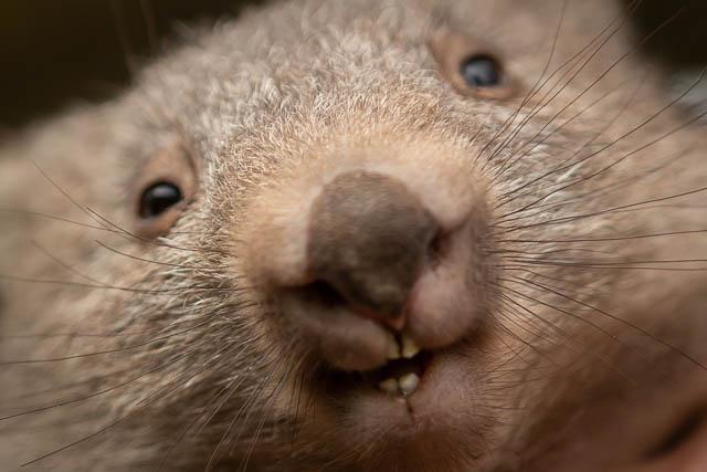 Shutterbug Walkabouts Tasmania - wombat close up on Flinders Island