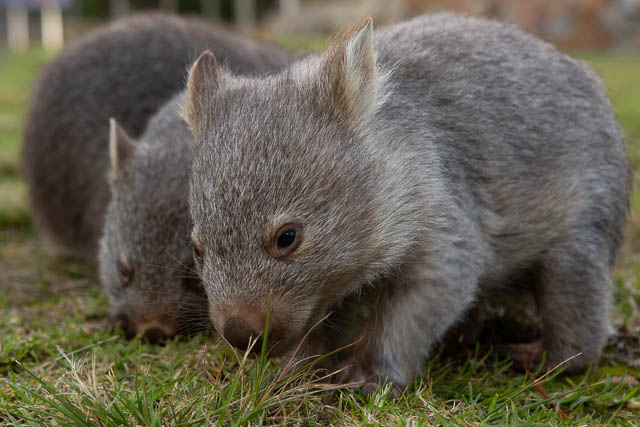 Shutterbug Walkabouts Tasmania - Flinders Island rescued wombats