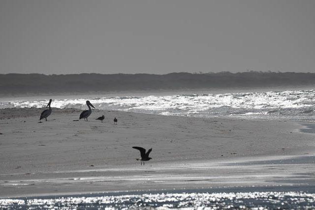 Pelicans - Flinders Island photography workshop with Shutterbug Walkabouts Tasmania