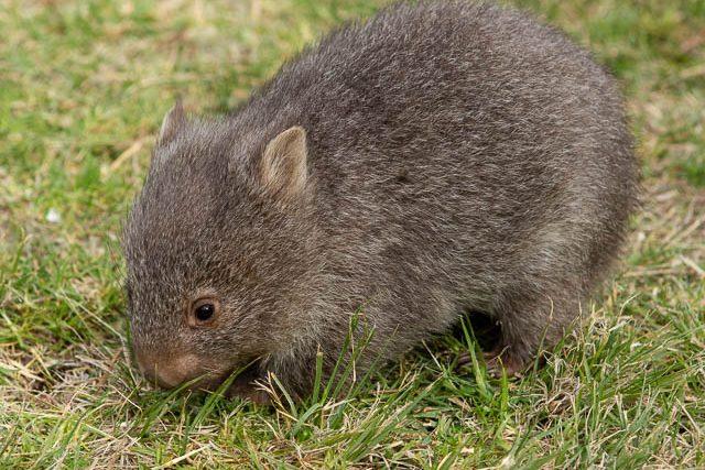 Rescued wombat on Flinders Island - Shutterbug Walkabouts Tasmania - Flinders Island photography workshop