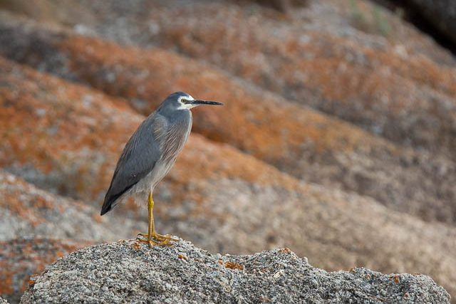 White-faced Heron at Trousers Point, Flinders Island - Shutterbug Walkabouts Tasmania photography workshop weekend