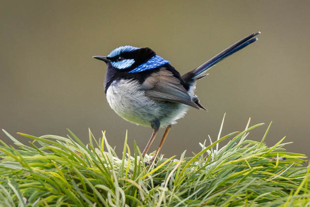 Superb Fairy-wren (male), spring/summer, breeding plumage