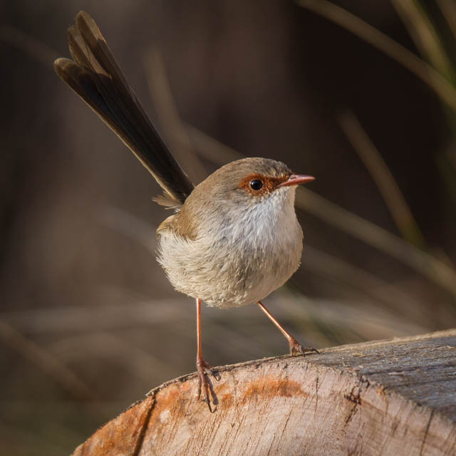Female Superb Fairy-wren in summer