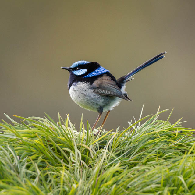 Male Superb Fairy-wren in spring with his full breeding plumage