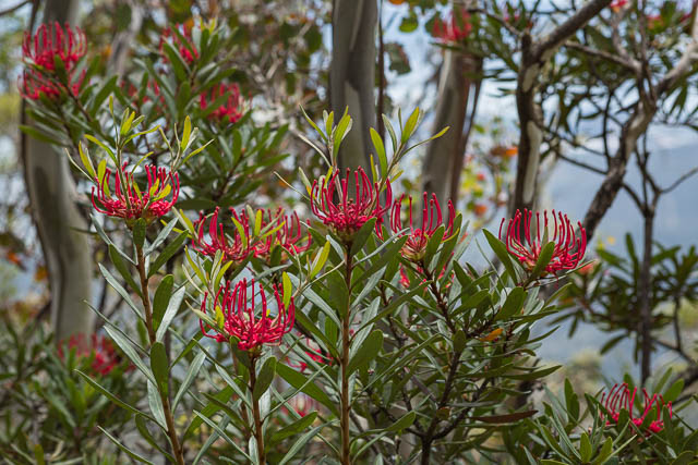Tasmanian Waratah in bloom on Mt Wellington, Hobart, Tasmania