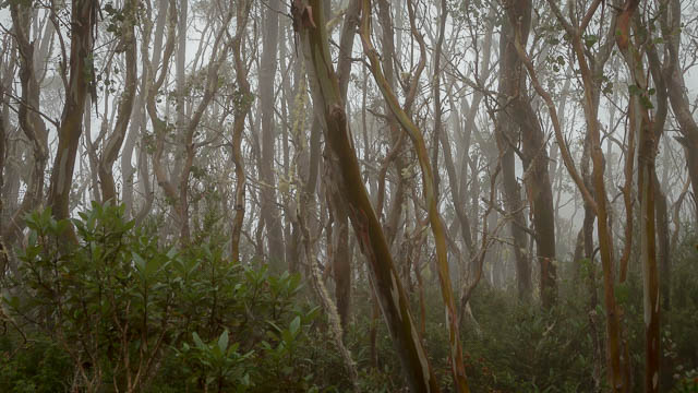 Misty forest on an autumn morning - Mt Wellington, Hobart, Tasmania
