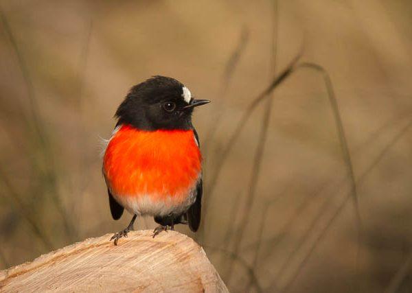 Scarlet Robin (male) - Tasmania Australia
