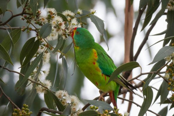Swift Parrot foraging in the canopy of eucalyptus tree - Tasmania