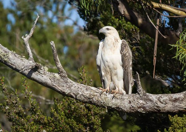 White-bellied Sea Eagle - Tasmania Australia